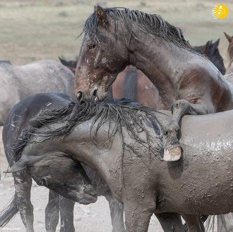 تصاویر  جدال دو اسب وحشی