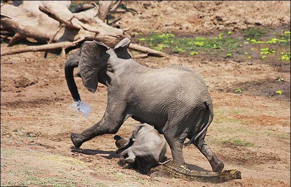 حمله عجیب و ناگهانی یک کروکودیل به دو فیل+ تصاویر
