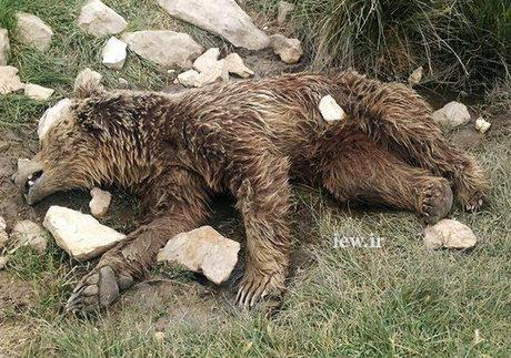 قتل بیرحمانه یک خرس در کرمانشاه + تصاویر