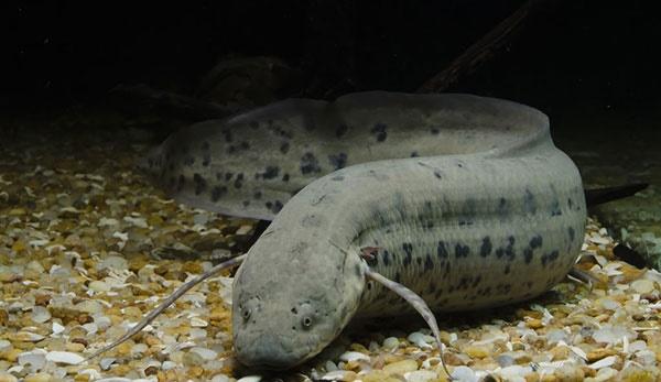 44330 940 نوعی ماهی که ۵ سال بدون آب و غذا میخوابد