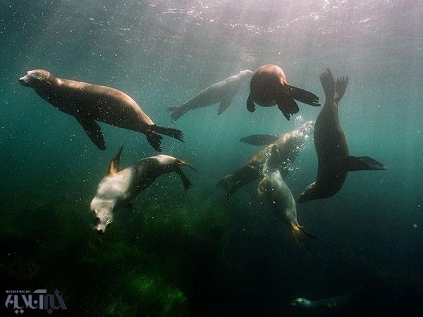 شهربازی زیرآبی شیرهای دریایی/عکس روز نشنال جئوگرافیک