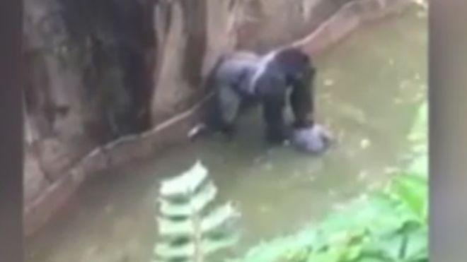 کشتن گوریل باغ وحش بعد از افتادن یک کودک در قفس +عکس