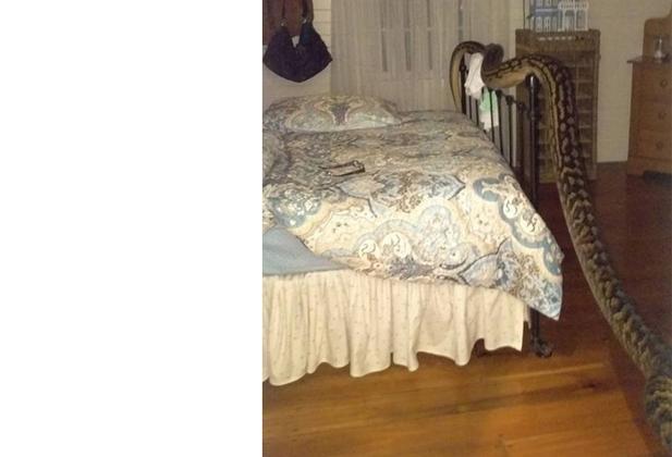 ورود مار 5.2 متری به اتاق خواب+عکس