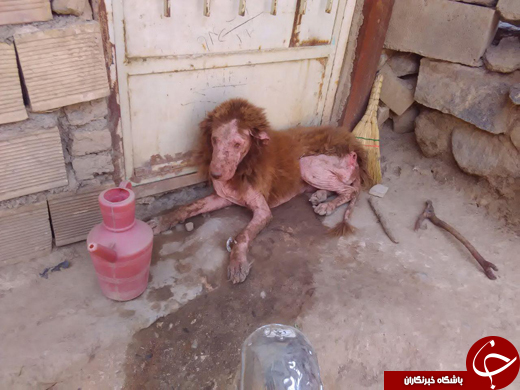پیدا شدن حیوانی عجیب(شبیه شیر) در باغ همدان + تصاویر