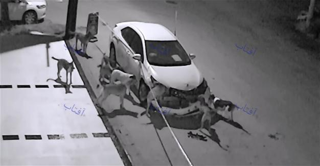 سگهای ولگرد یک خودرو را نابود کردند+تصویر