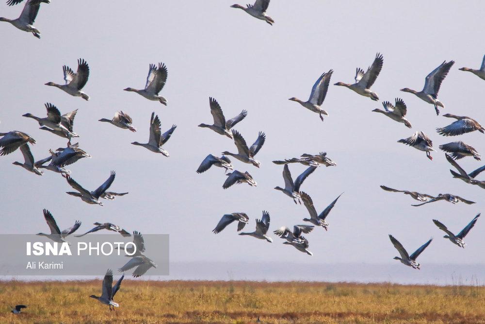 تصاویر/ پرندگان تالاب میقان اراک