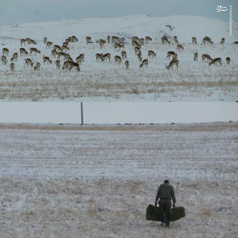 عکس / تلاش سخت محیطبانان برای نجات حیوانات در برف