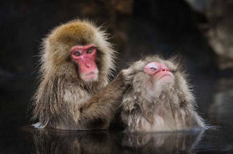 عکس/ آبتنی میمونهای ژاپنی در عکس روز نشنال جئوگرافیک
