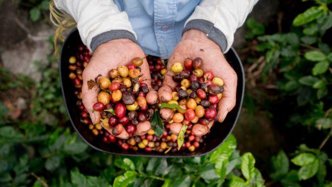 گیاه قهوه در معرض خطر انقراض