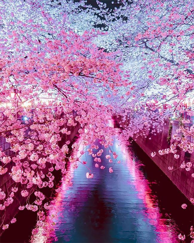 Mùa sakura Nhật Bản qua ống kính của một nhiếp ảnh gia.5