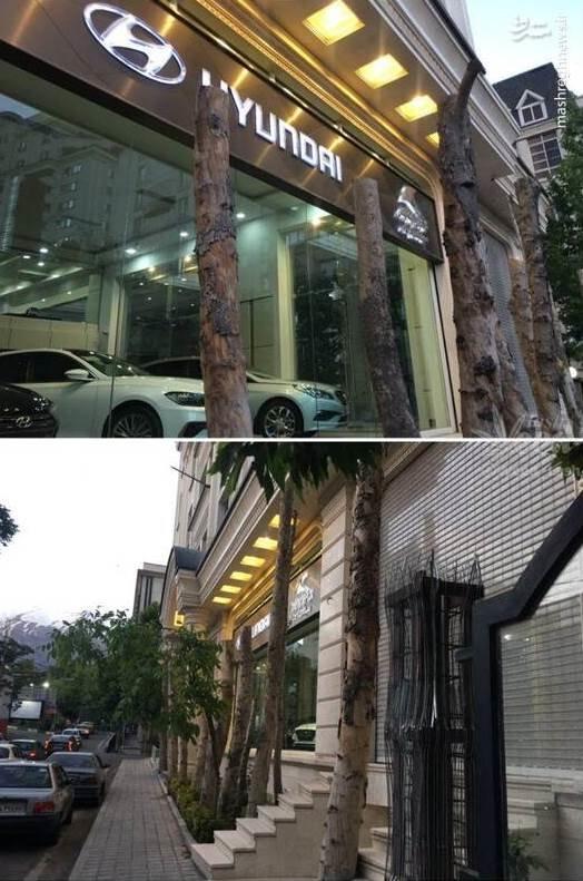 عکس/ قطع چند درخت در زعفرانیه بخاطر ویترین نمایشگاه ماشین!