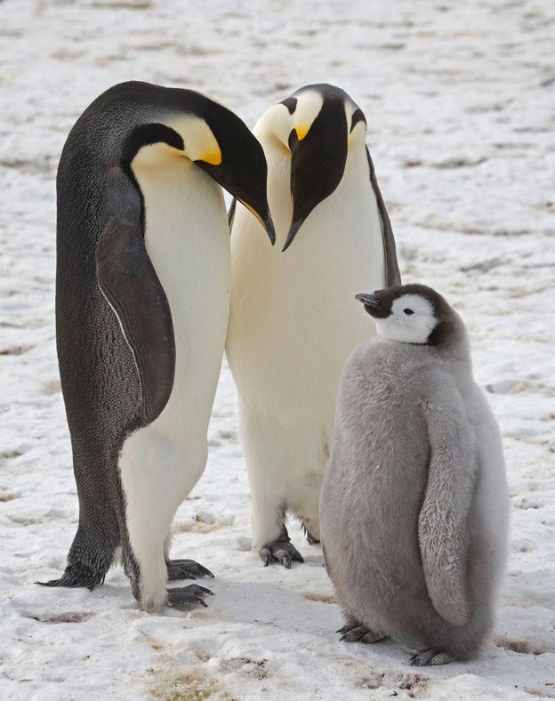 مرگ هزاران جوجه پنگوئن امپراتور در قطب جنوب