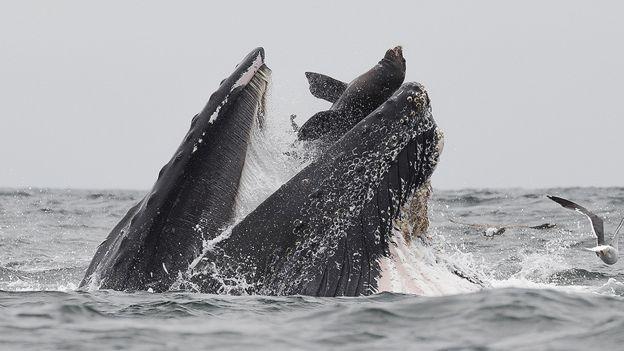 تصویری که شاید یکبار در زندگی ببینید: نهنگی که یک شیر دریایی را میبلعد+عکس