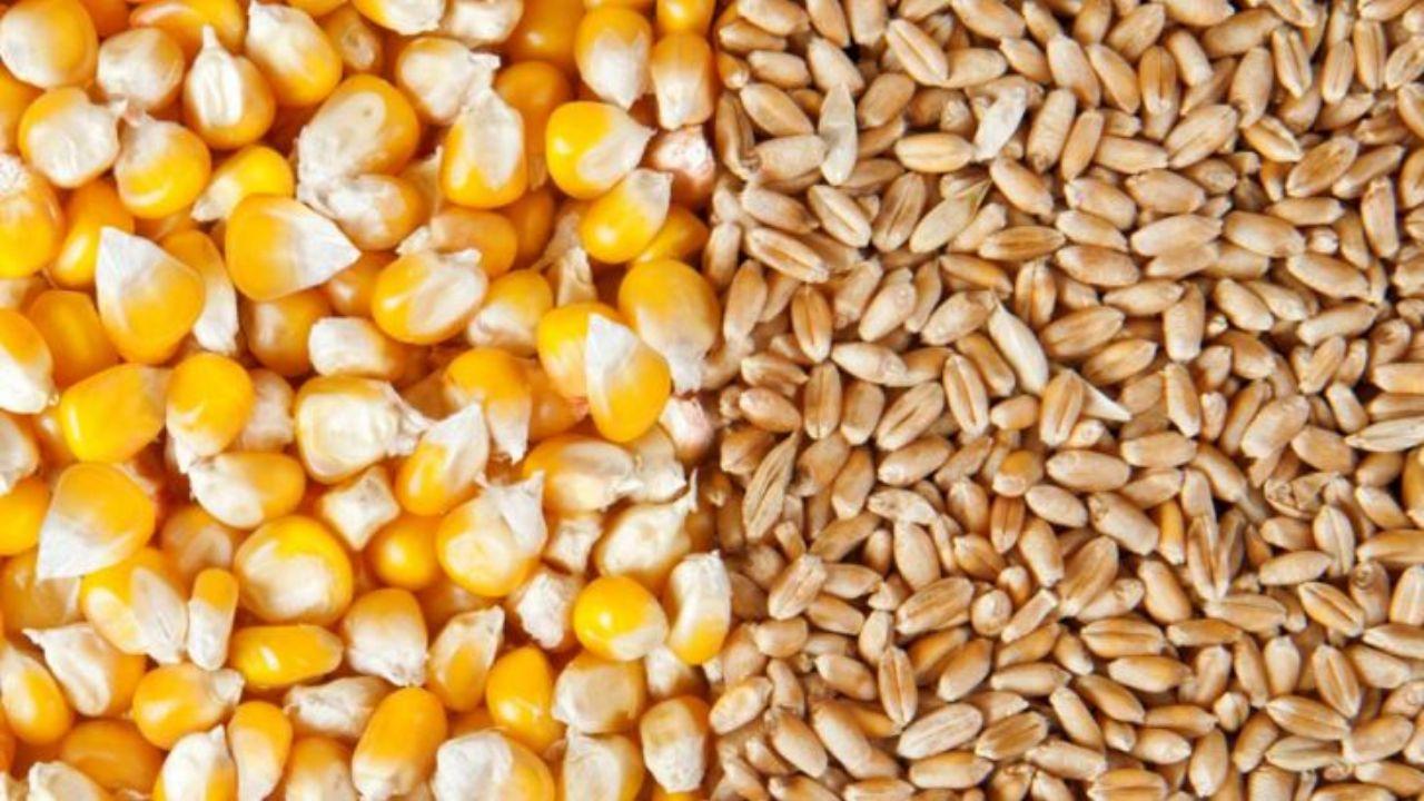 افت شدید قیمت گندم و ذرت در بازارهای جهانی