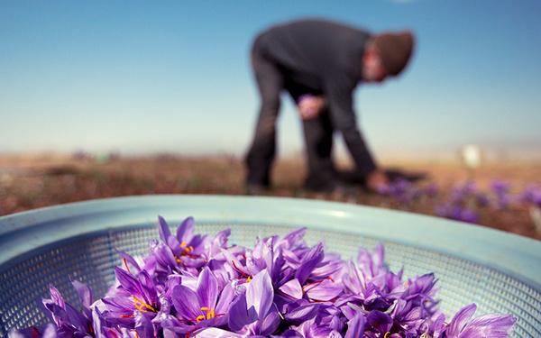 حمایتی از تولیدکنندگان اصلی زعفران صورت نمیگیرد