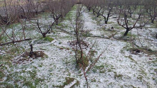 تگرگ به 1000 هکتار از باغات میاندوآب خسارت زد