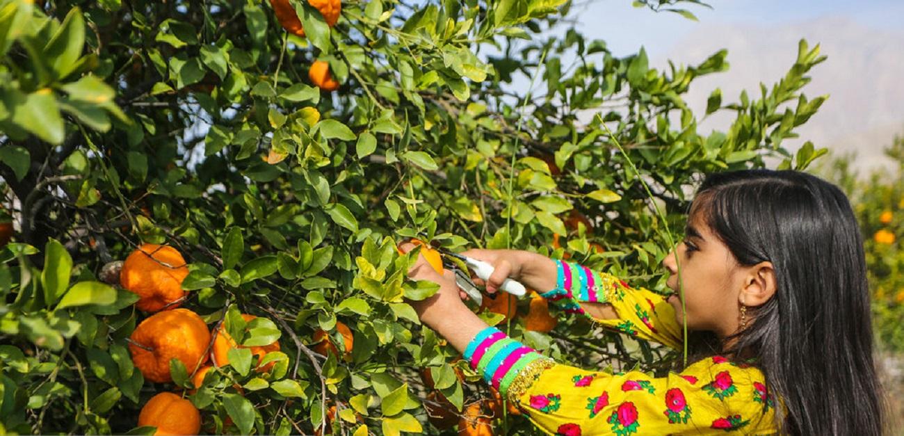 تصاویر| برداشت نارنگی از باغات سیاهو در هرمزگان