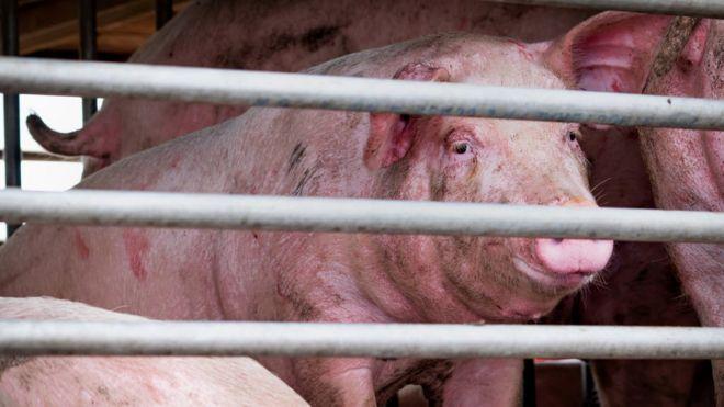 یک ویروس جدید آنفلوآنزا خوکی با