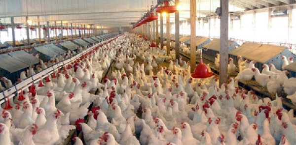 چرا مرغداران تجمع کردند؟