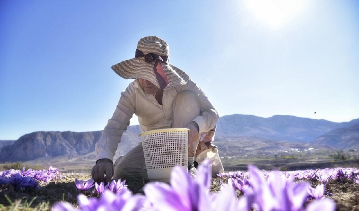 تصاویر  برداشت زعفران در گلستان و خراسان