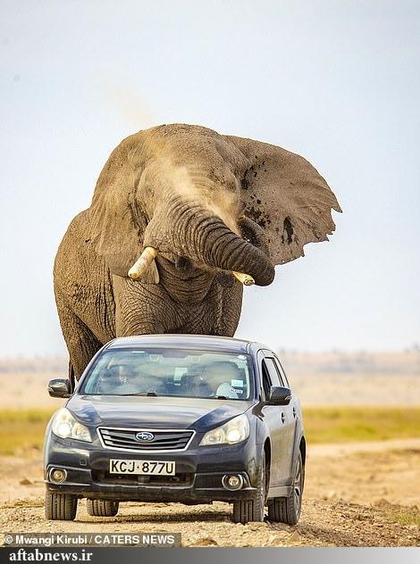 تصاویر  فرار خودرو از حمله فیل خشمگین