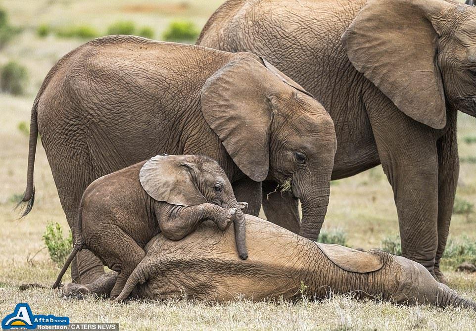 تصاویر| قلقلک دادن بچه فیل توسط برادرش