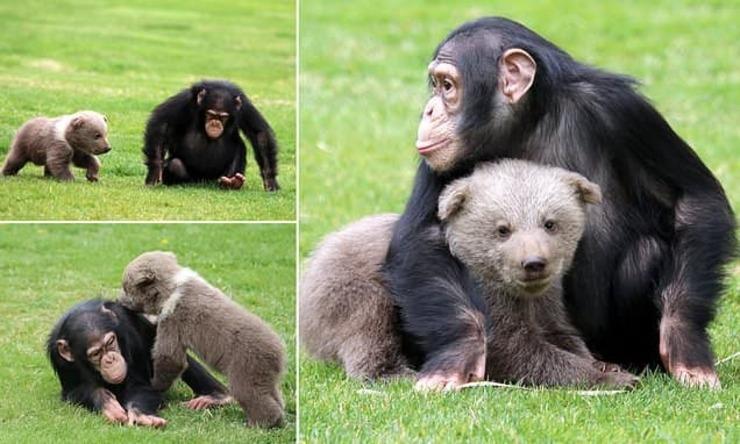 تصاویر| دوستی خرس و شامپانزه
