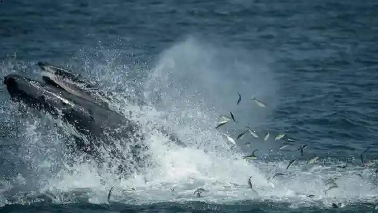 نجات باورنکردنی غواصی که توسط نهنگ بلعیده شد!