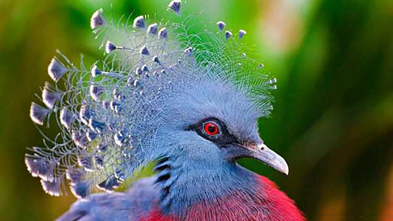 فیلم| رنگ جالب یک کبوتر تاجدار