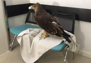 نخستین عمل جراحی عقاب در ایران +تصاویر