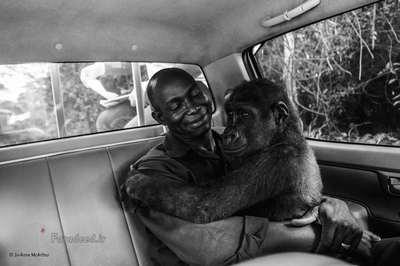 تصویر منتخب مردم، Pikin گوریل اسیر شدهای که قرار بوده به فروش برسد، اما توسط نیروهای Ape Action Africa نجات مییابد. Jo-Anne این تصویر را در هنگام انتقال گوریل به یک مکان امن ثبت کرده است.