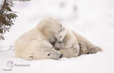 فینالیست: آغوش گرم، مادر و توله خرسهای قطبی در ظهور فصل بهار از آشیانه خود بیرون آمده اند. تولهها برای گرم نگه داشتن خود در نزدیک مادرهستند. Debra چنین تصویری را در سرمای طاقت فرسا -۳۵ تا -۵۵ به ثبت رسانیده است.