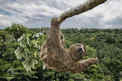 فینالیست: تنبل. Luciano برای گرفتن چنین تصویر باید از درخت سکروپیا در جنگلهای محافظت شده آتلانتیک در جنوب Bahia، برزیل بالا میرفت. تنبلها از برگ این درختان تغذیه میکنند از این رو اغلب در بالای این درختان دیده میشوند.