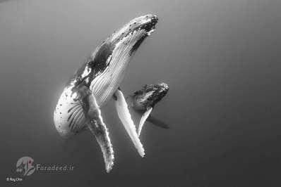 فینالیستها: مادر و فرزند. هر ساله از اوایل ماه ژوئیه تا اواخر ماه اکتبر، نهنگهای گوژ پشت از جنوب برای تغذیه به شمال تونگا مهاجرت میکنند. Ray برای گرفتن این تصویر به آرامی به آنها نزدیک شده و در نهایت این عکس را ثبت کرده است. او بعدا تصویر را به رنگ سیاه و سفید تغییر داده تا سادگی وزیبایی به بیننده منتقل شود.
