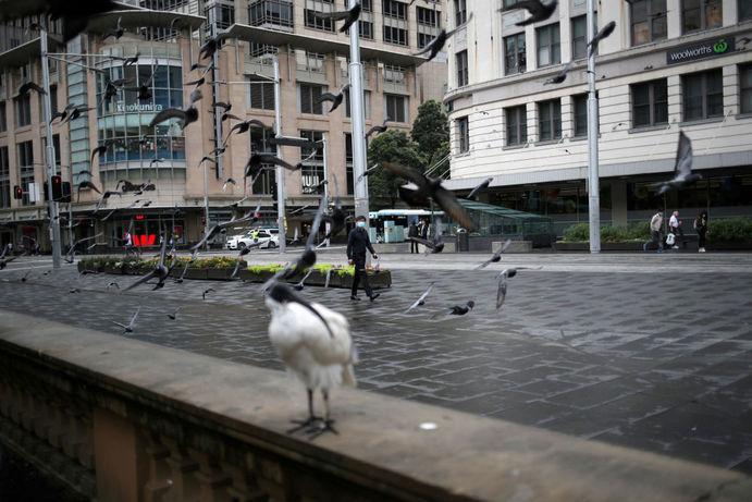 پرنده ها در خیابان های خالی سیدنی