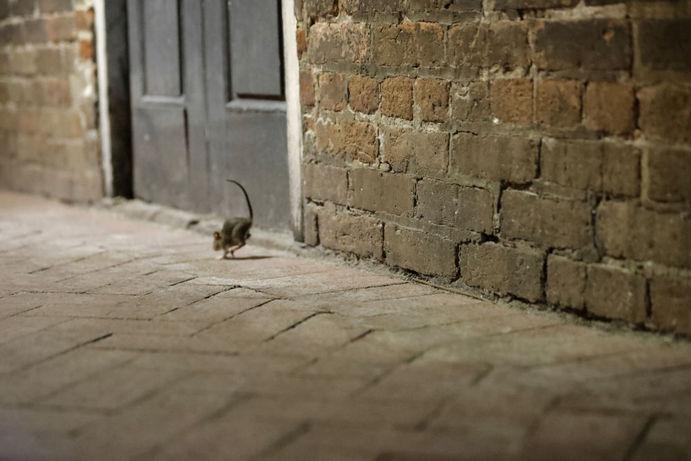 موش در خیابان های خالی نئو اورلئان