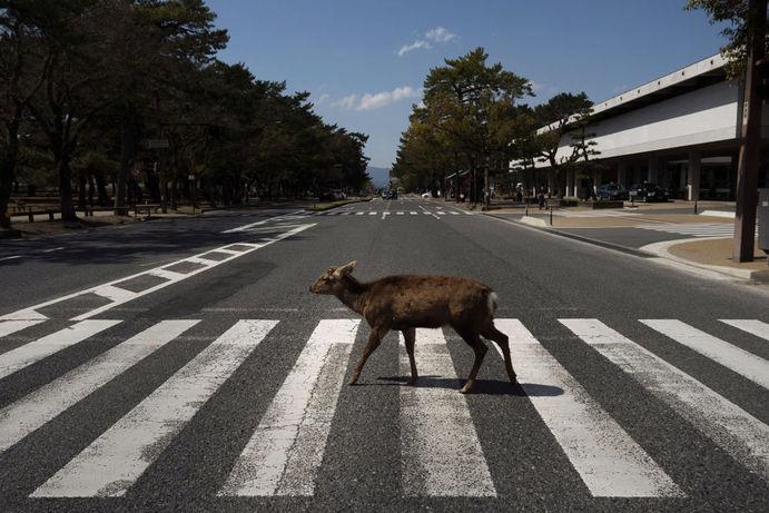 گوزن از جاده ای در شهر نارا عبور می کند