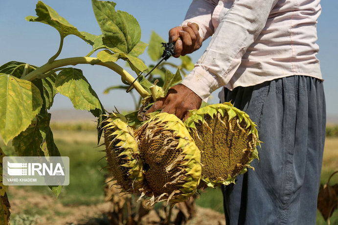 برداشت تخمه آفتابگردان از مزارع خراسان شمالی/تصاویر