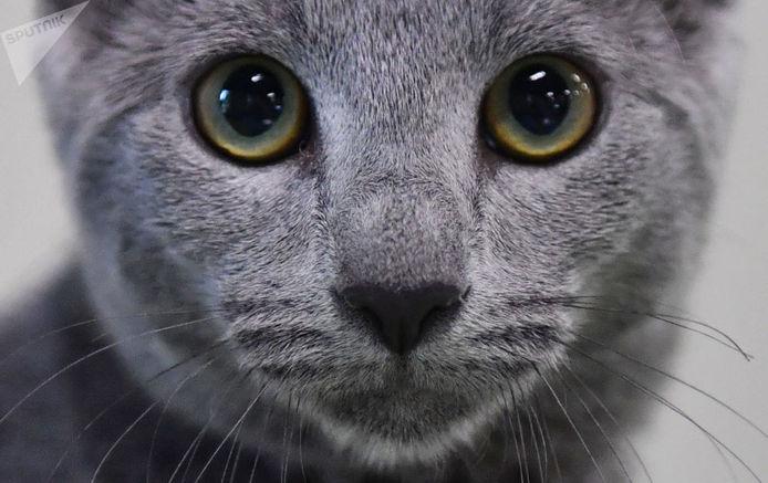گربه روسی آبی