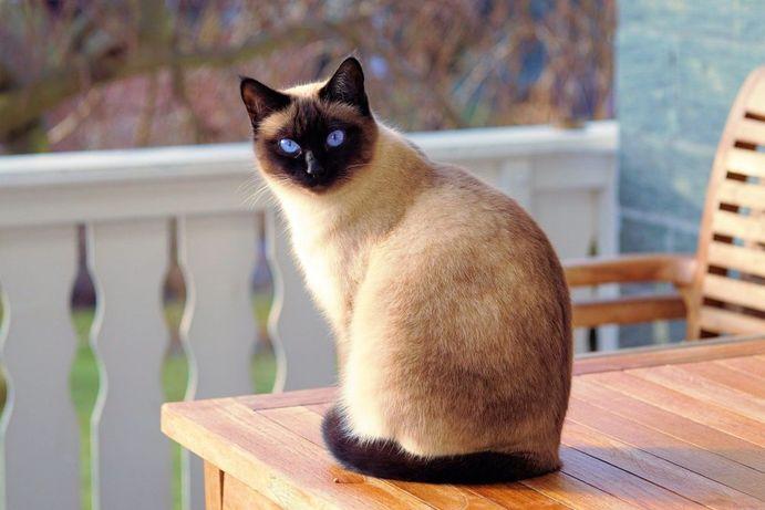 گربه سیامسکایا