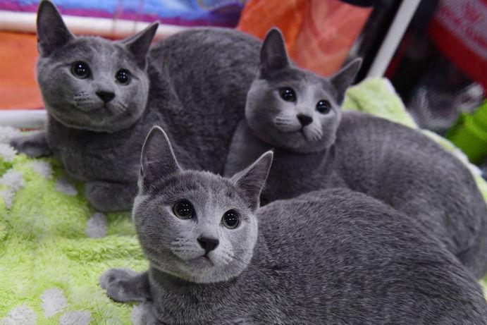 گربه آبی روسی