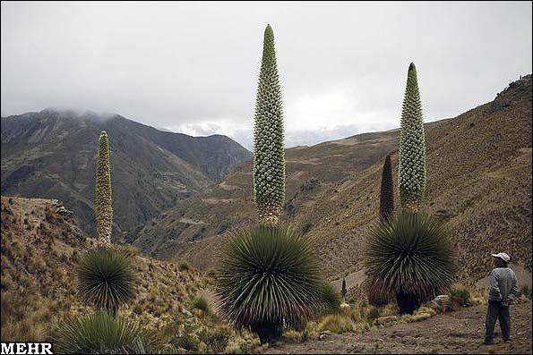 این گیاه یک قرن در میان گل میدهد و میمیرد! / تصویر