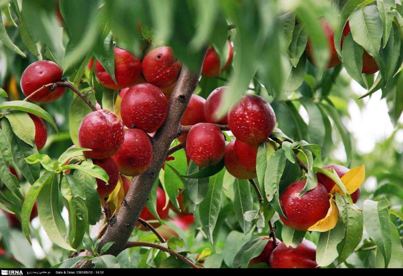 وبلاگ تخصصی علوم باغبانی - میوه کاری
