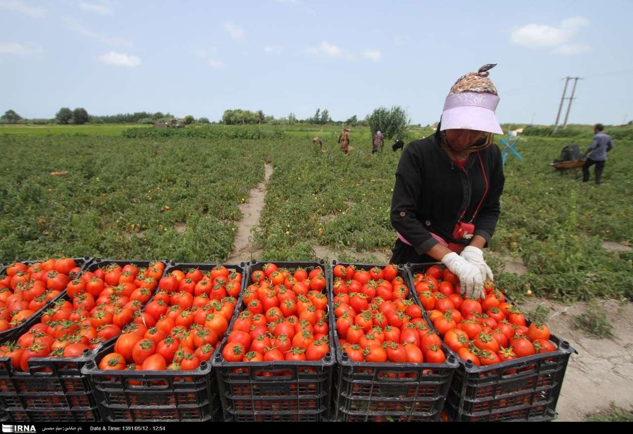 برداشت گوجه فرنگی در جویم